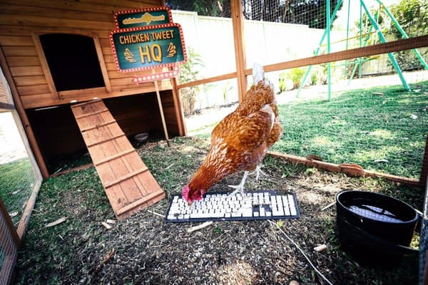 La gallina tuitera